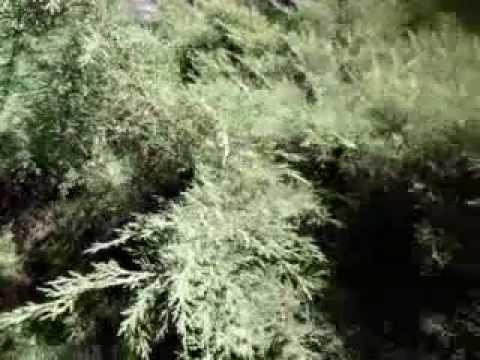 Казацкий можжевельник - посадка, уход, сорта, размножение