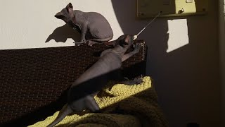 Two sphynx brothers are happily playing with clothes dryer / DonSphynx /