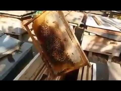 Ana arı yetişdirilmesi. Saf