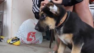 Ставим, клеим уши Крупной породе собак, Немецкой овчарке и т.д. Как поставить уши собаке