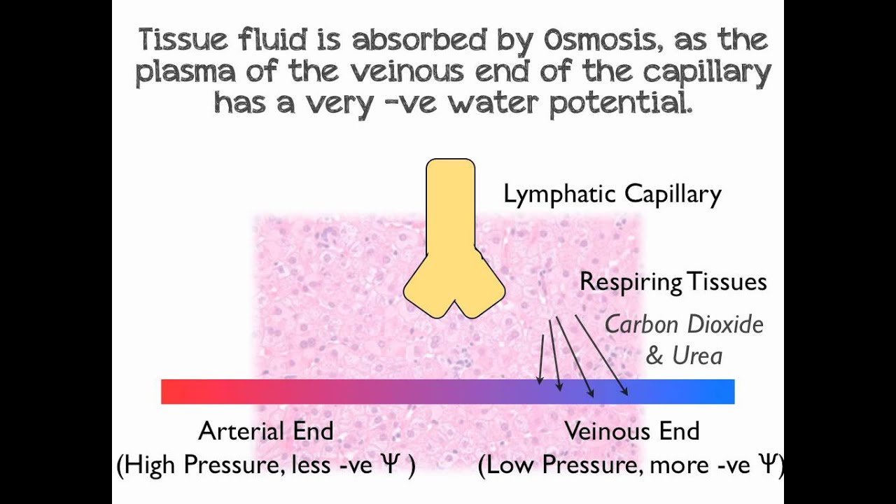 How tissue fluid and lymph is formed: mechanisms 19
