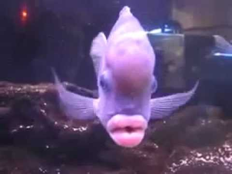 Fish With Women's Lips