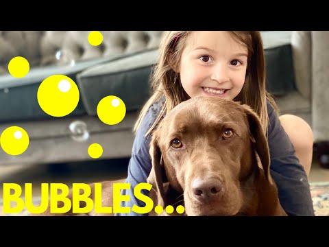 Are Labrador Retrievers Good Family Dogs [Part 1]  Playing with Labrador Retriever Funny Dog Video
