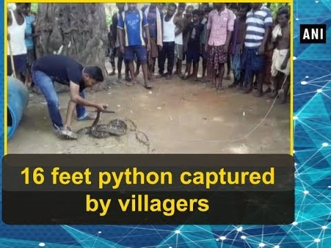 16 feet python captured by villagers - ANI News