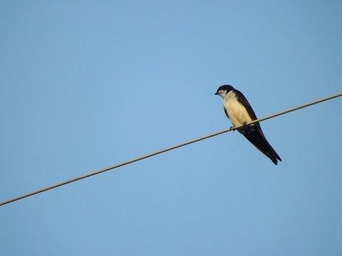 Swallow Bird Call Bird Song