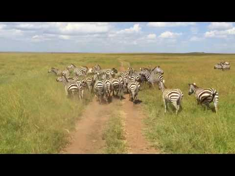 Tanzania Safari, 2016 (Serengeti, Ngorongoro, Tarangire, and Lake Manyara) - with Oltumure Tours