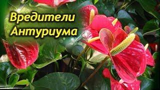 видео Как лечить болезни у антуриума, почему желтеют или сохнут листья и что делать с вредителями + фото