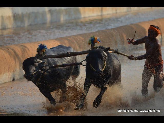 Moodubidire Koti Chennaya Kambala-buffalo race