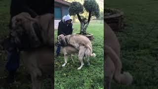Kangal Ve Daisynin çiftleşmesi