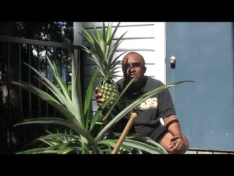 Home Grown Florida Pineapple Harvest