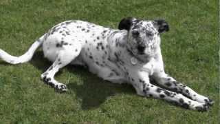Lizzie - Dalmatian/collie Cross