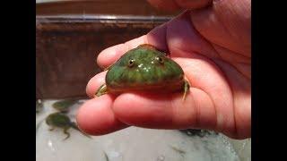 今日カエルになったバジェットガエルベビーが、可愛すぎてメロメロ(///_///)
