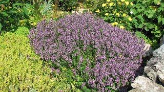 Брусника садовая посадка уход лечебные свойства фото видео
