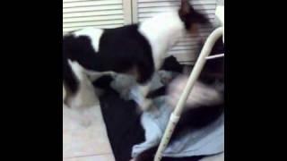 Bull Terrier Fight