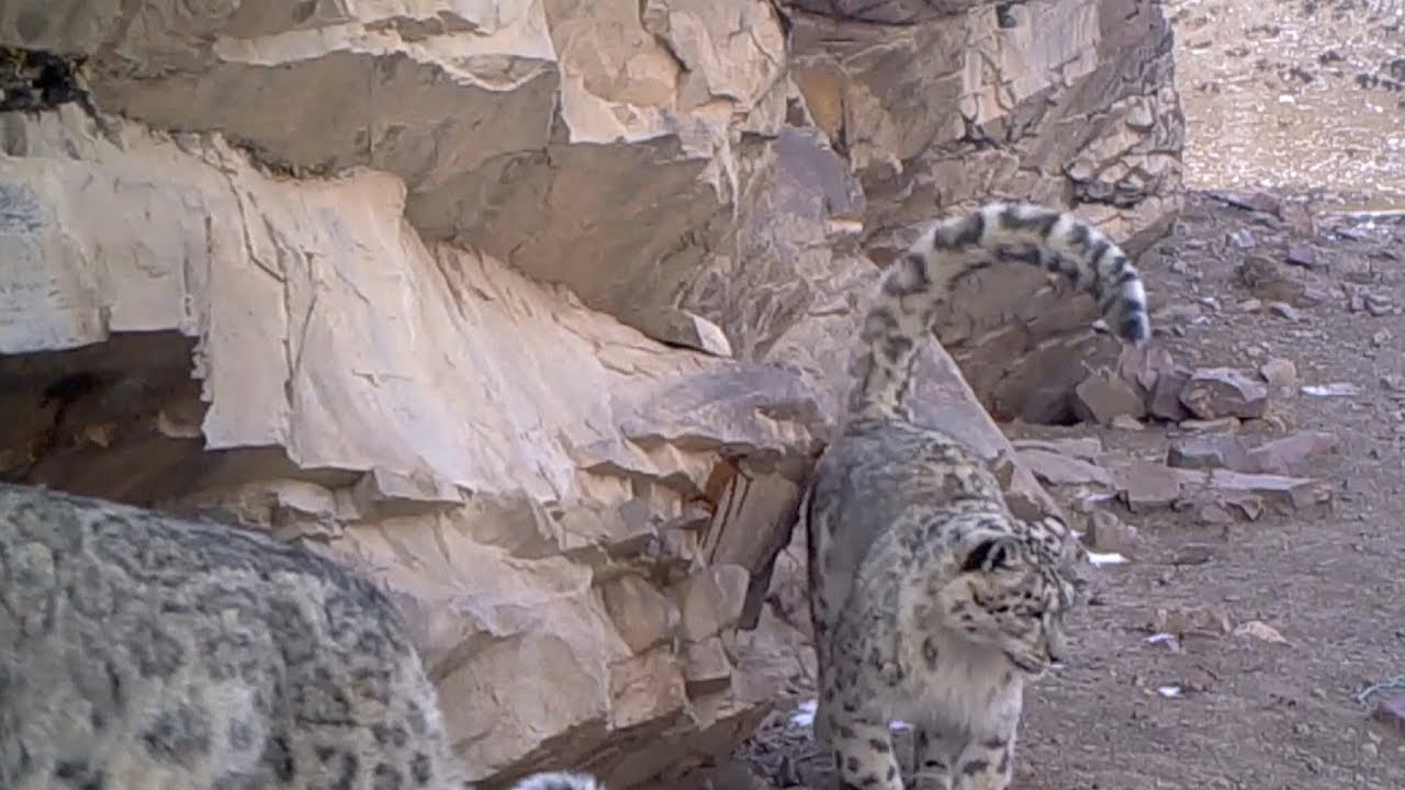Tropical Island Beach Ambience Sound: First Snow Leopards Caught On Camera At Qilian Mountain
