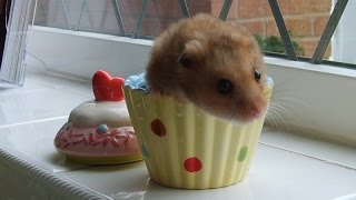 Drawing A cute Hammy in a Cupcake Hideout!