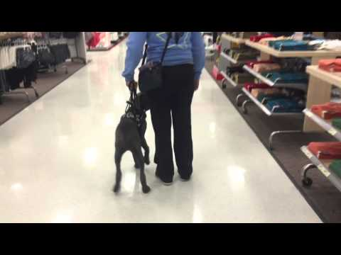 Juno - In Training (Service Dog)
