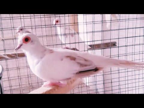 Ternak Burung Perkutut Mutiara Aneka Jenis Youtube