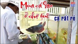 Mua cá dạo ở chợ quê. Cá lia thia, cá bình tích, trân châu, bảy màu,... rất rẻ| buy fish