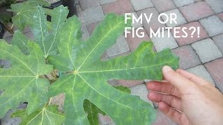 Fig Mosaic Virus or Fig Mites?!