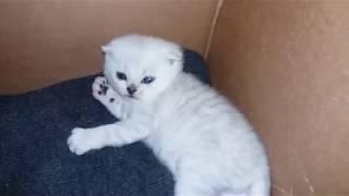 КРАСИВЫЕ КОТЯТА СКОТТИШ ФОЛД В 3 НЕДЕЛИ ИГРАЮТ И БЕСЯТСЯ 😻cute kittens Cats