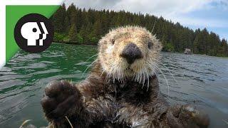 Robot 'Spy Otter' Makes New Friends