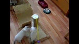 Как тайские котята покоряли вершину когтеточки! Тайские кошки - это чудо! Funny Cats