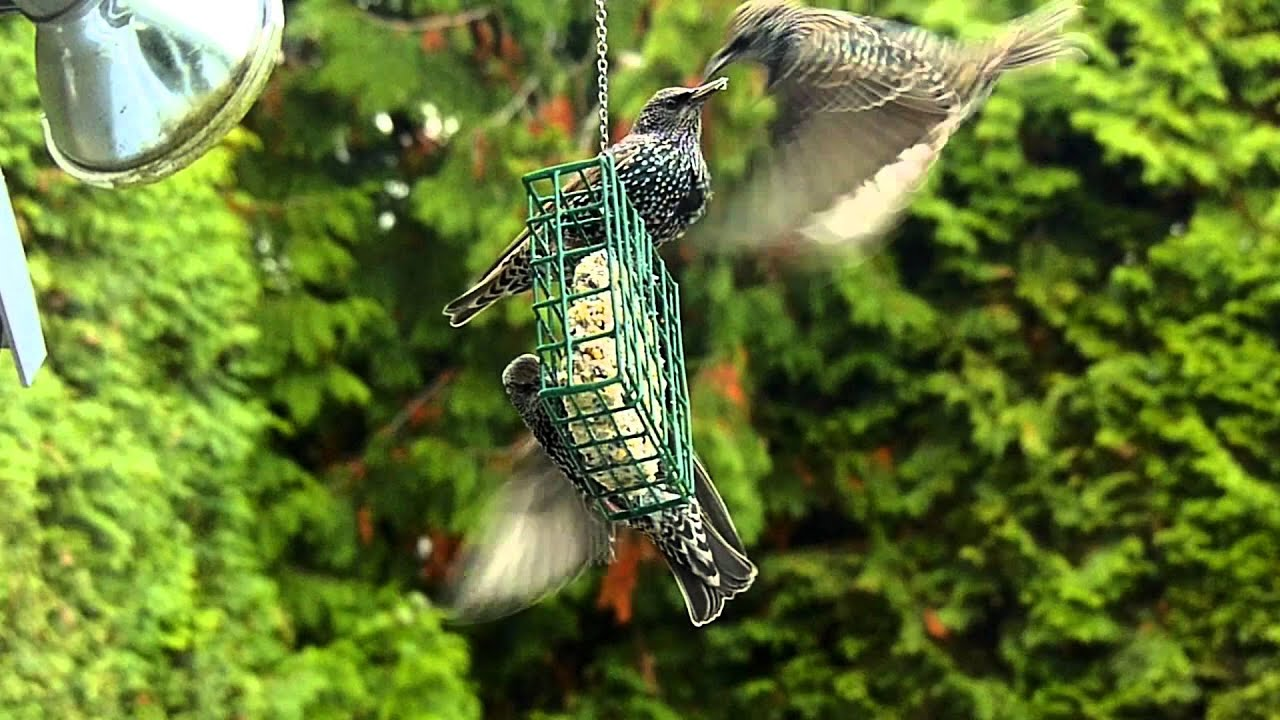 how to keep starlings away from bird feeders