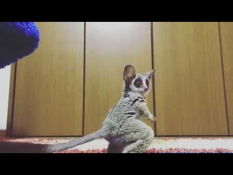Bush Baby plays with a ball for the first time