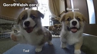 Name Of 20130706 Part 4 Cute Corgi Puppies, Ear Flap Slow Motion / コーギー 子犬 スローモーション