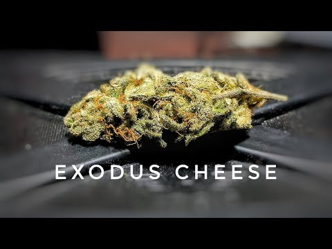 Strain Review - Exc - Exodus Cheese - MMJ Total Health Care