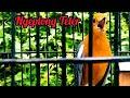 Anis Merah Gacor Ngeplong Teler Dipagi Hari  Mp3 - Mp4 Download