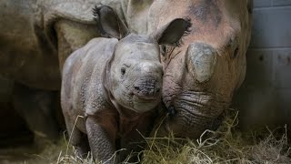 Greater One-Horned Rhino Born at The Wilds!
