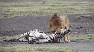 Lion kill unedited