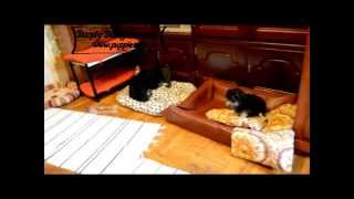 Löwchen Puppies Playing, Little Lion Dog Pups