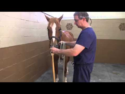 How to Apply & Use a Rope Twitch on a Horse