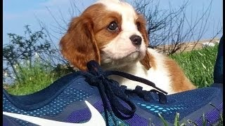 Female Akc Cavalier And Male Teddy Bear Puppies Playing In Sd