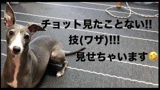 Tink(Italian greyhound) loves me.この芸もすぐ覚え、デビューです。楽...