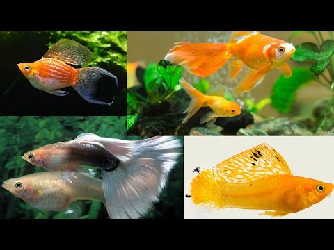 Beautiful Aquarium Fish | Gold Fish - Balloon Molly - Shark - Angel Fish