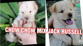 Cutest puppy in the world | What does a chow and Jack russell mix look like