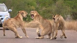 The Outlaw, Lion fight, Kruger movie