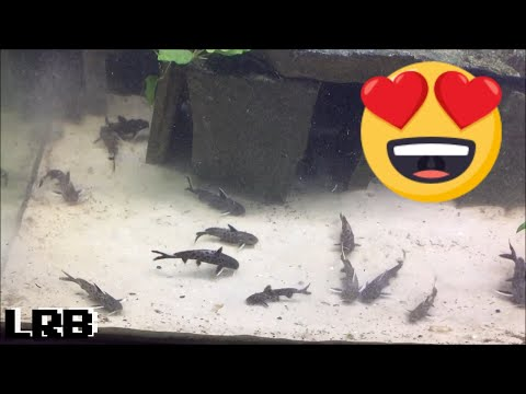 Community Breeding Synodontis Lucipinnis Freshwater Fish How To Easy Method