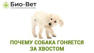 Почему Собака Гоняется За Хвостом & Зачем Собака Преследует Хвост. Ветклиника Био-Вет