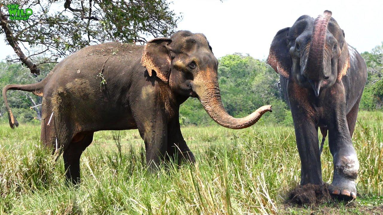A huge elephant battling to live gets treatment
