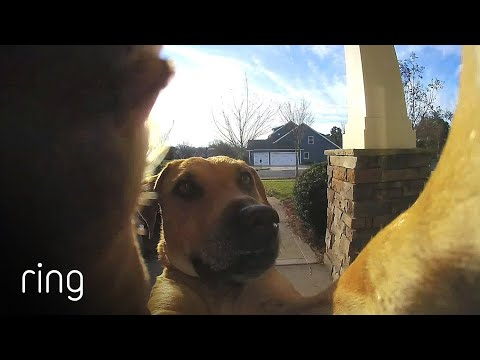 Watch-How-This-Dog-Uses-a-Ring-Video-Doorbell-to-Get-Back-In-The-House