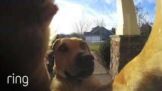 Watch How This Dog Uses a Ring Video Doorbell to Get Back In The House