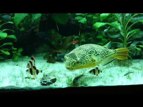 Pufferfish Giant (Tetraodon MBU) vs Mussel