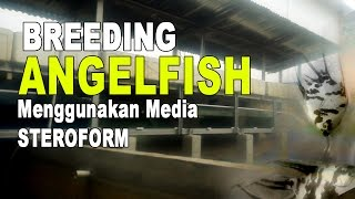 vuclip Cara Budidaya Ikan Manfish Breeding AngelFish di Steroform Part 1