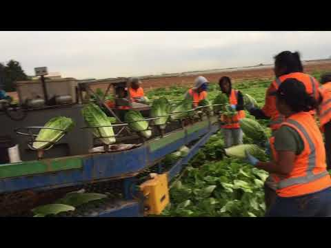 Lettuce Farm in Melbourne Werribee South 28 Dec 2017