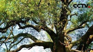 """震撼!1800多岁""""高龄""""的巨型古樟树!一个树洞可容纳60余人? 《是真的吗》   CCTV精选"""